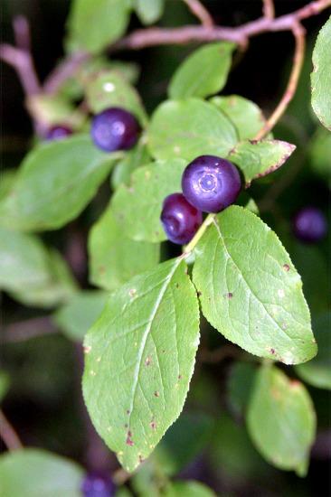 fs-huckleberrybush