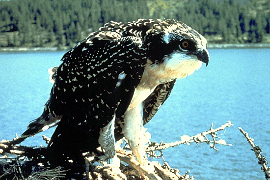 fs-osprey