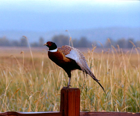 fs-pheasant