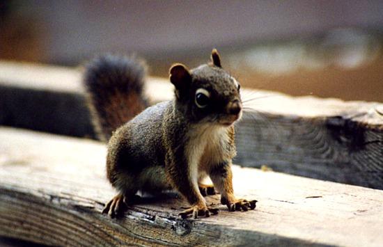 fs-squirrel
